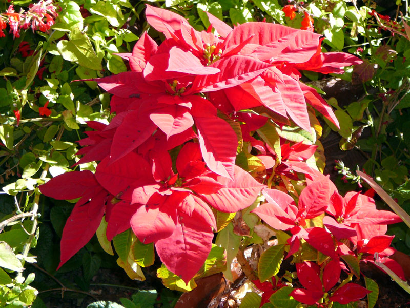 This Poinsettia was a gift from our neighbors across the street and has appeared in earlier posts.