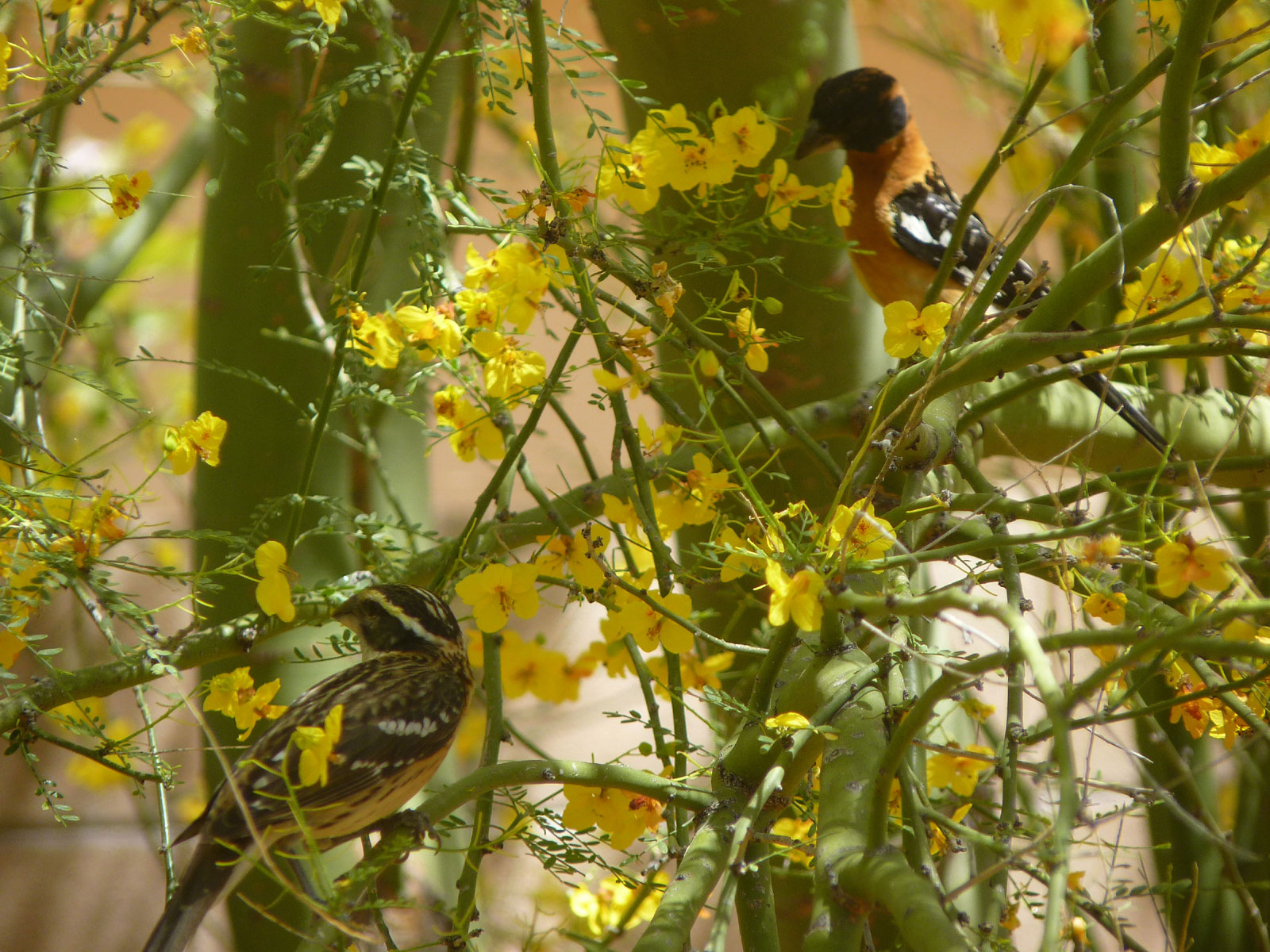 A visiting pair of Black Headed Grosbeaks