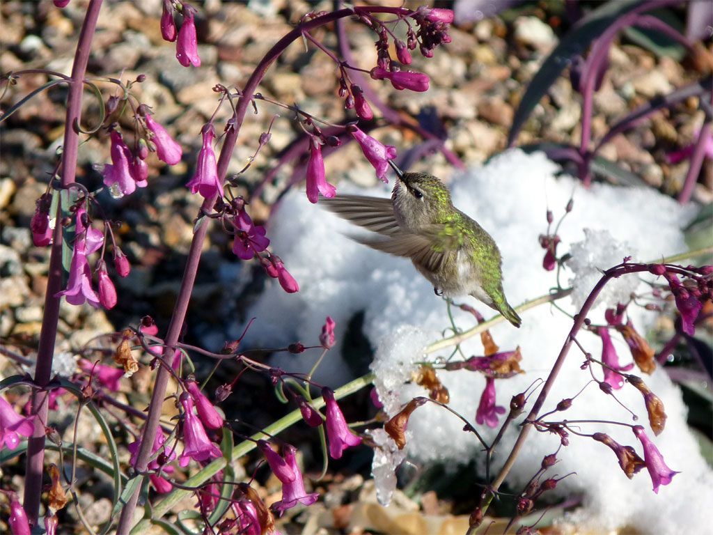 A lady Costa's Hummingbird visiting Perry's Penstemon as the overnight snow melts.